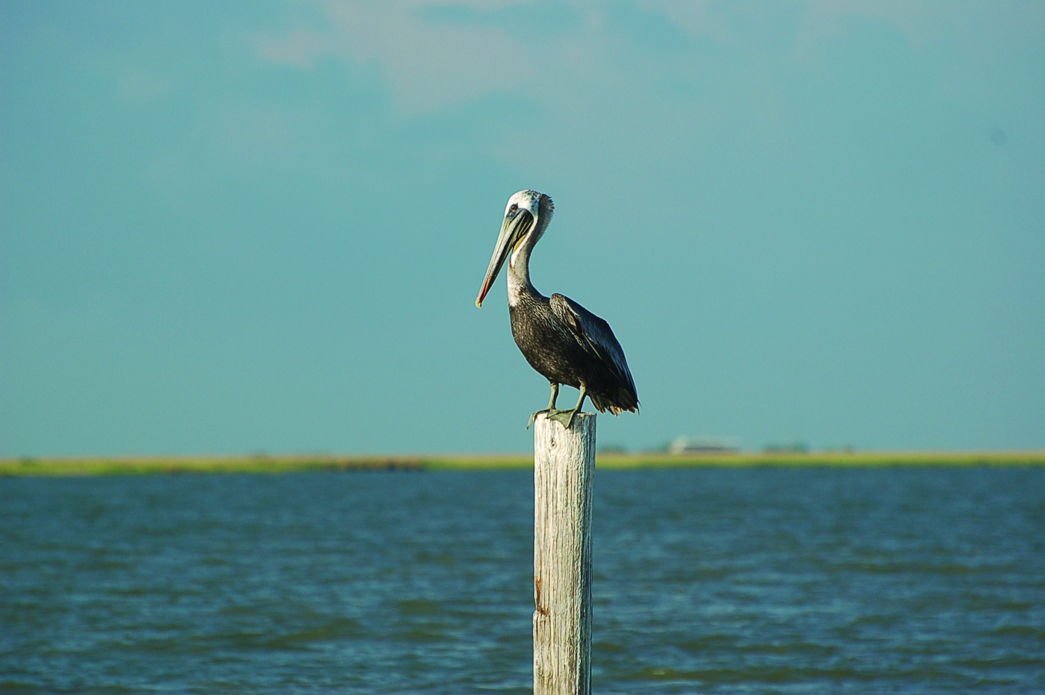 Rock-Pelican.jpg