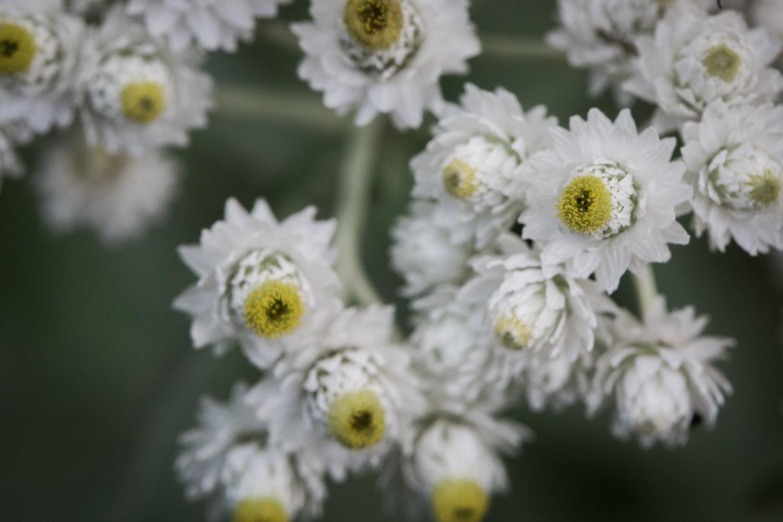 22-northern-minnesota-white-wild-flowers-boundary-waters-bwca-mahonen-photography.jpg