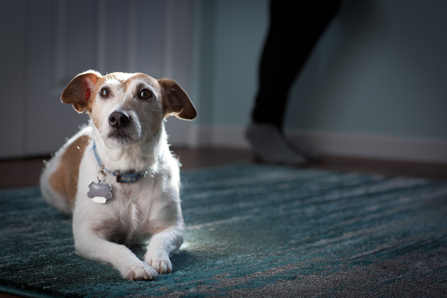 "Eddie the Jack Russel Terrior said ""look at how pretty I am in the light! Please take my picture too!"""