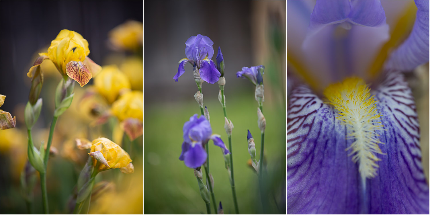 mn-purple-yellow-bearded-iris-mahonen-photography.jpg