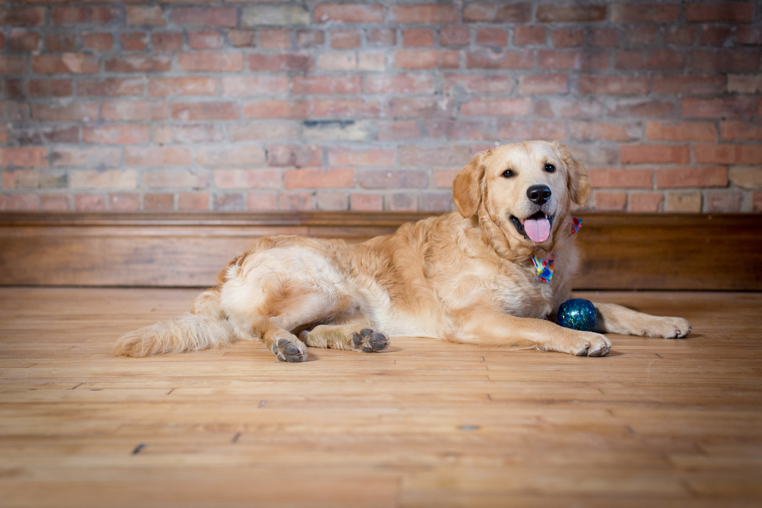 01-golden-retriever-mn-dog-pet-photographer-first-birthday-studio-glitter-ball-happy-pup-mahonen-photography.jpg