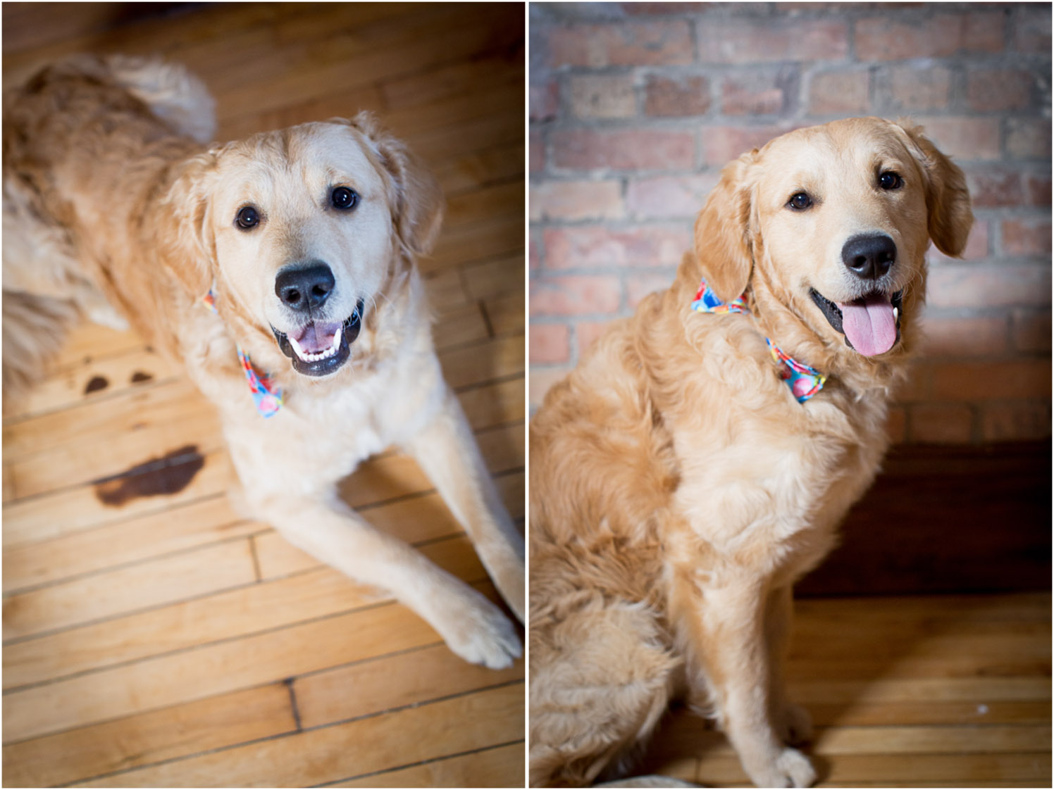 04-golden-retriever-mn-dog-pet-photographer-first-birthday-studio-happy-pup-mahonen-photography.jpg