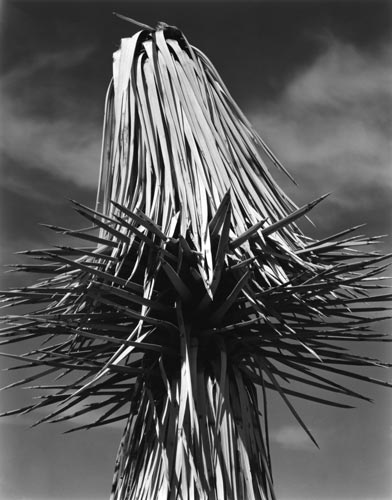 Joshua Tree (MD-J-2G) | Edward Weston 1937