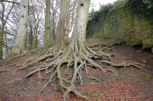 Tree_Roots_attrib_Tim_Green+2.jpg