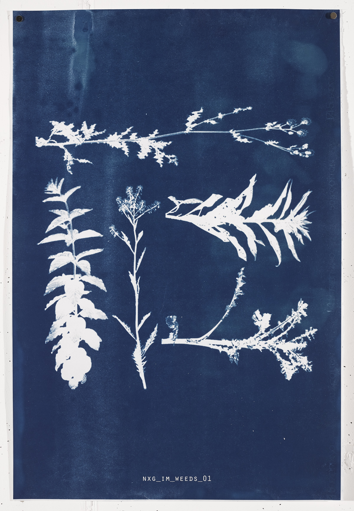 IM WEED  2017 Unique cyanotype print on Frabriano No.5.  90.4cm x 61cm
