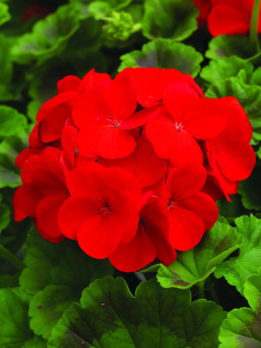 Geranium Pinto Red