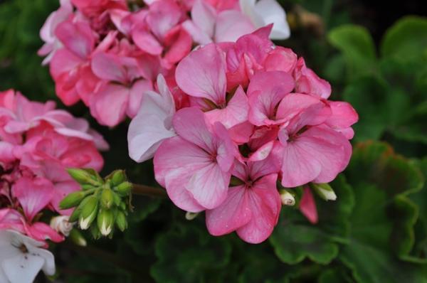 Geranium Pinto Pink