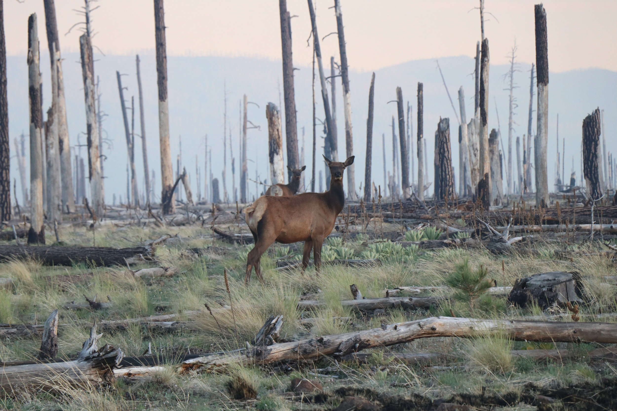 Elk stand out among charred skeletons of Ponderosa Pine.