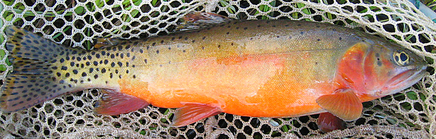 A colored up Rio Grande Cutthroat trout (Photo courtesy of New Mexico Game & Fish)