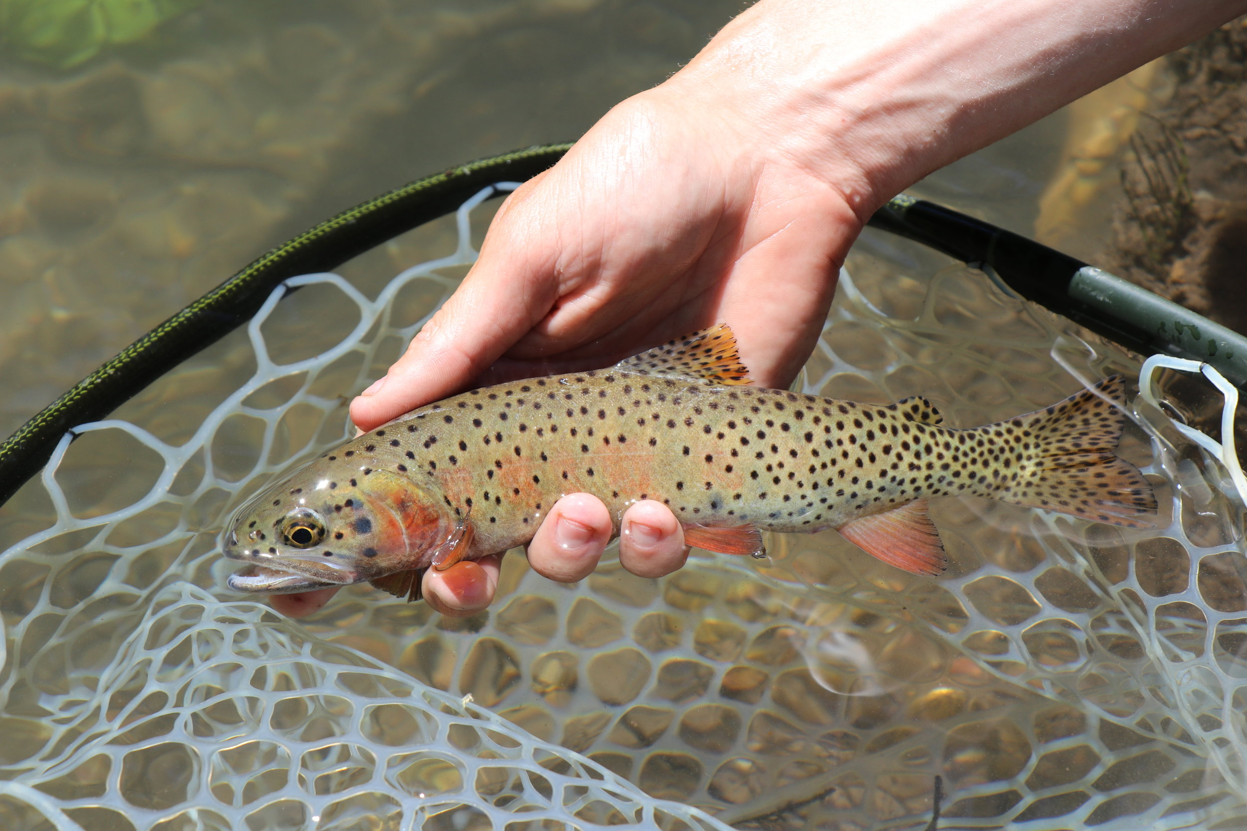 A brief moment with a fine-looking Bear River Cutthroat.