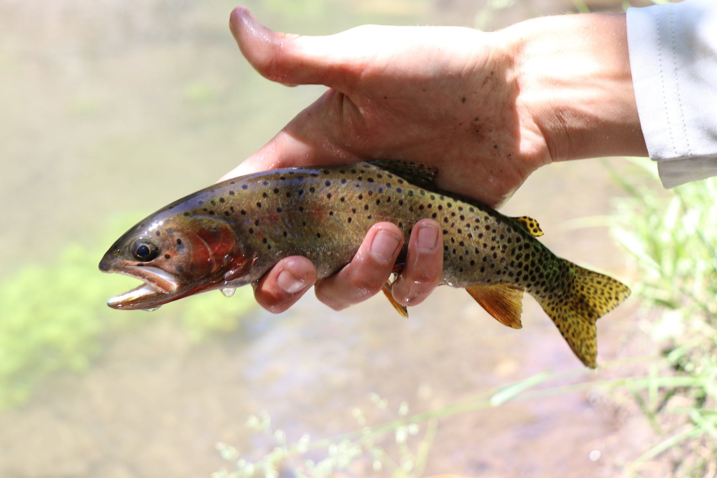 Thumbs up for Bear River Cutthroat.