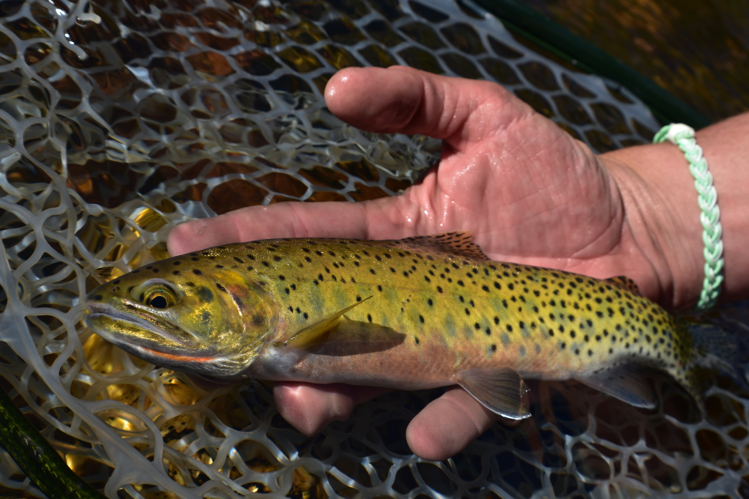 Austin Holds a Westslope Cutthroat Trout