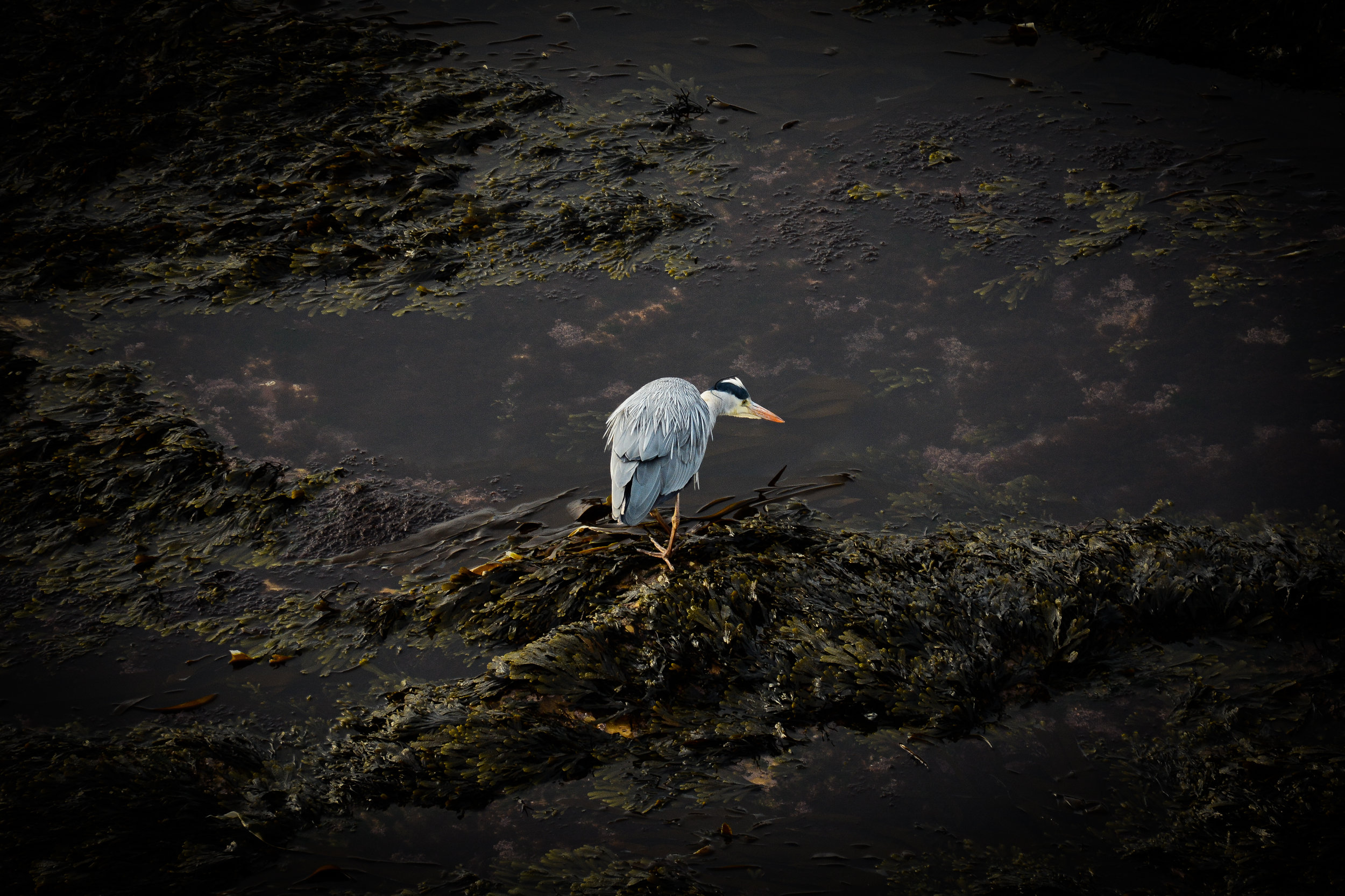 Fishing heron. Nikon D7100 (18-105mm f/3.5-5.6G ED VR Lens)