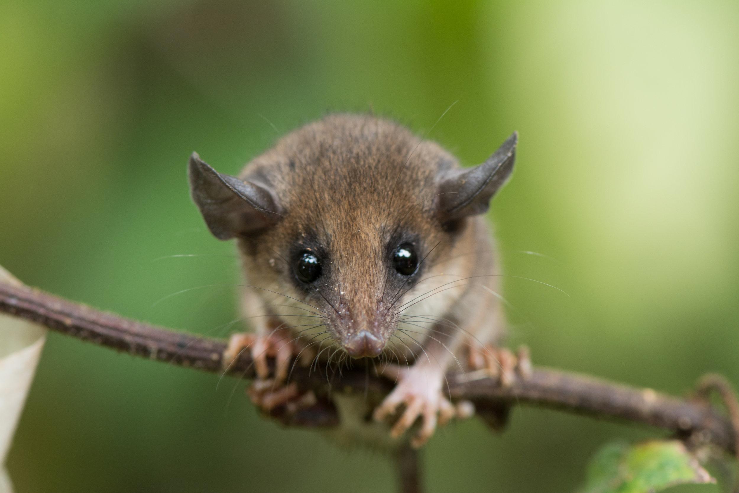 eilidh-munro-opossum