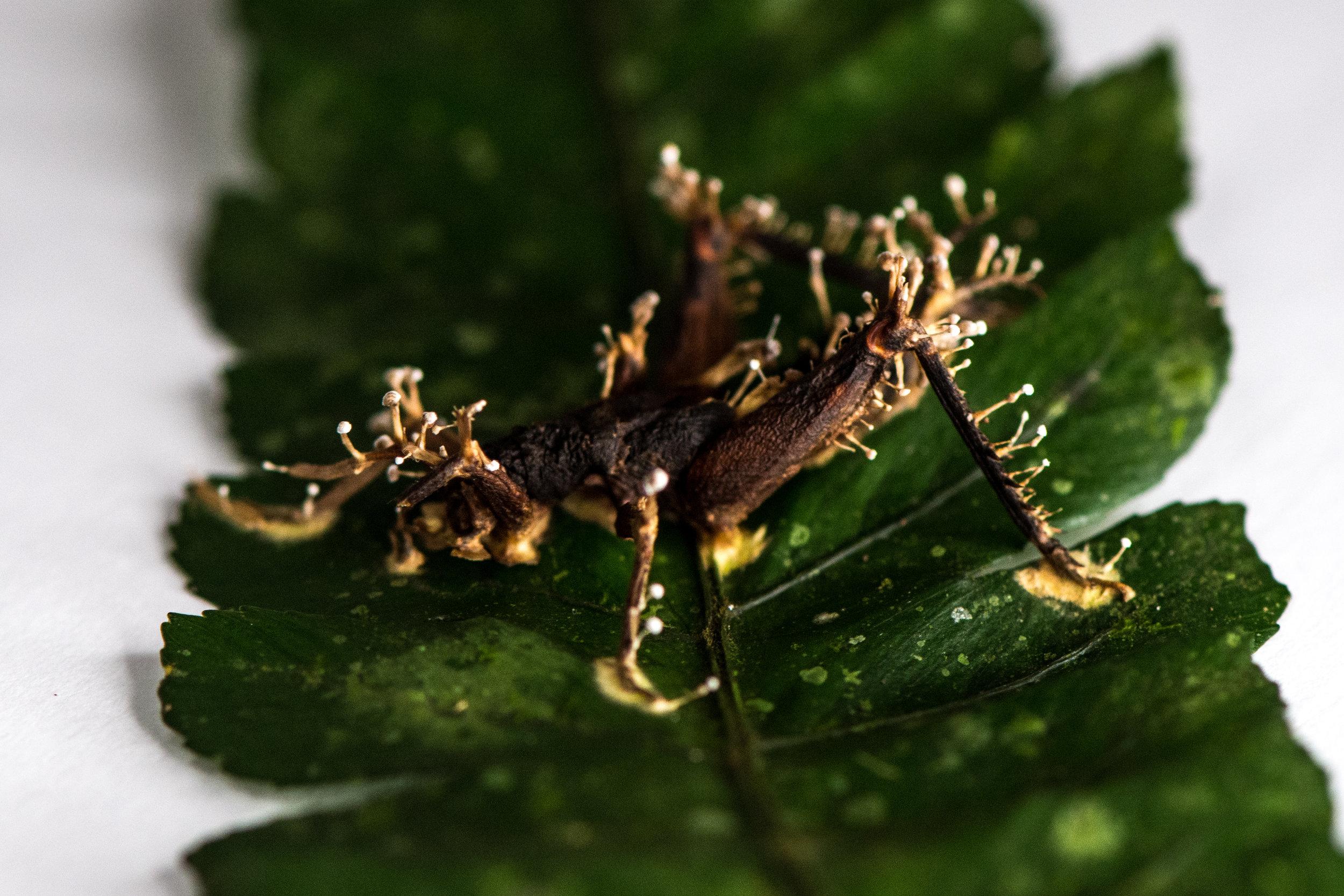 cordyceps-eilidh-munro