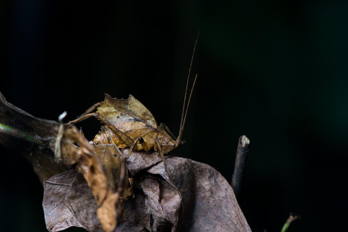 leaf-mimicking-katydid-eilidh-munro