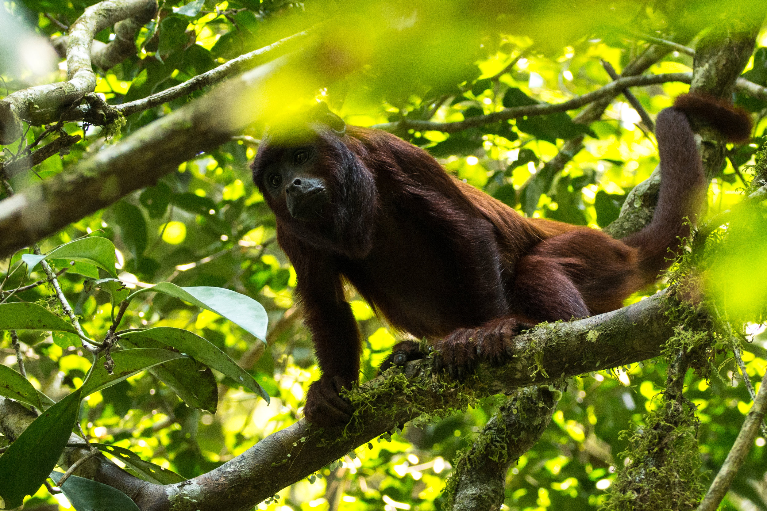 The vulnerable red howler monkey living in the Manu Biosphere Reserve