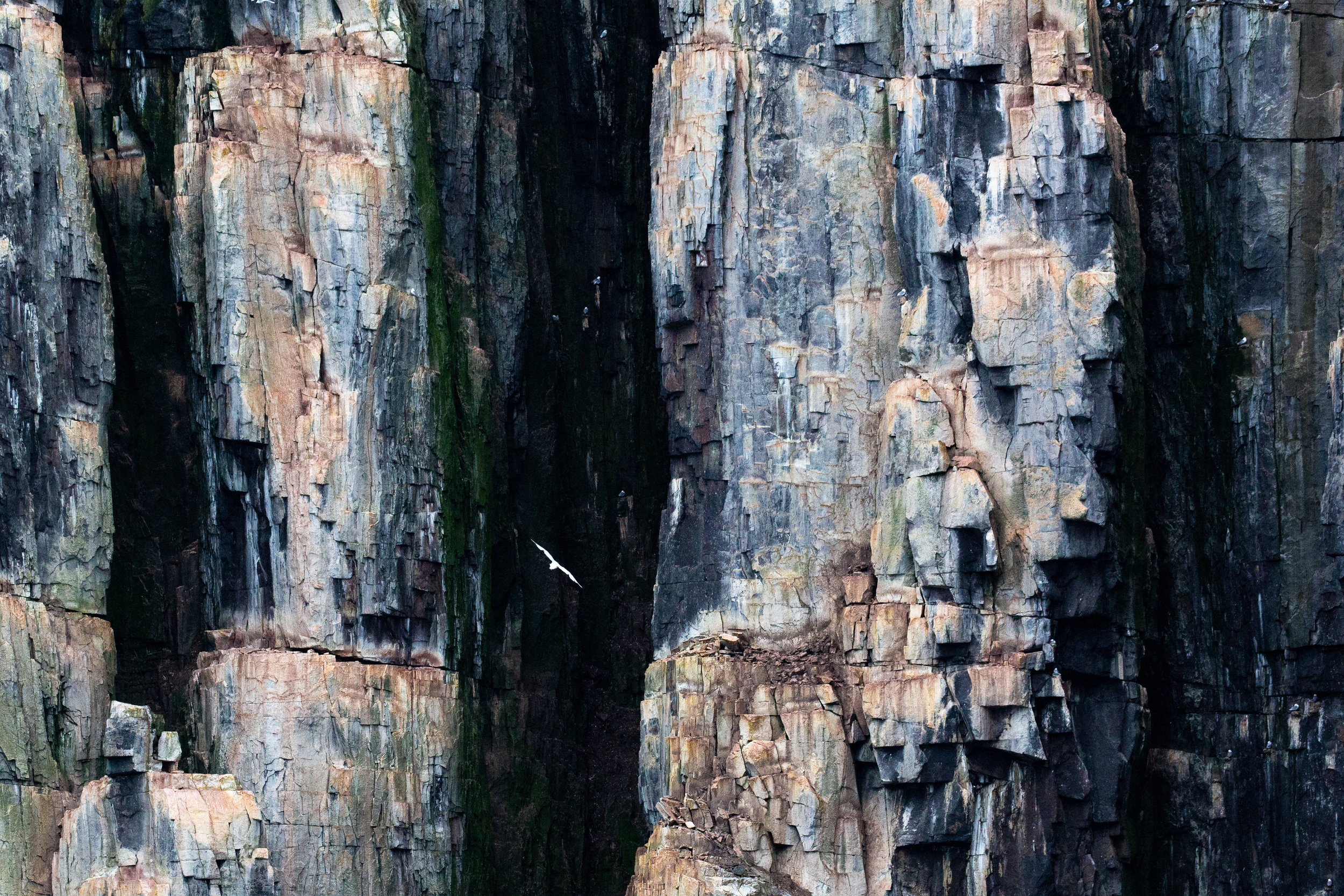 A black-legged kittiwake flies among the jagged cliffs of Alkefjellet in Northern Svalbard. The cliffs and spires which rise like skyscrapers 350 feet out of the Arctic ocean, are one of the most important bird nesting habitats in the archipelago. Though a sheer cliff may seem like a strange place for any creature to make its home, the colorful and steep basalt columns provide guillemots, kittiwakes, and gulls with a nesting habitat that is inaccessible from possible predators like the egg-loving Arctic fox. Each summer, the cliffs come to life with birds as 60,000 guillemots and thousands more of kittiwakes and gulls fill every ledge and nook of the small, glacier encircled cliff-band.