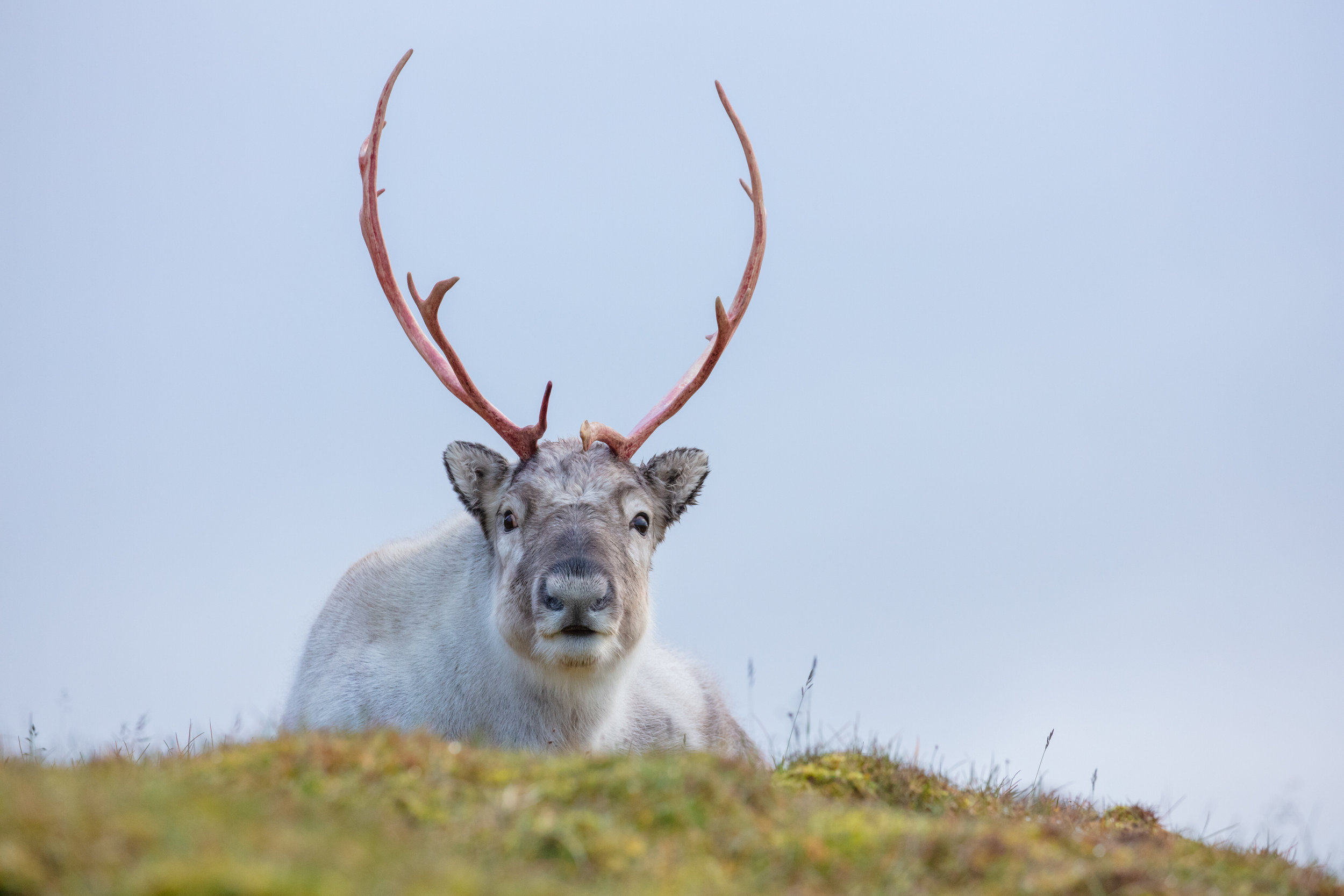 A Svalbard Reindeer rests atop a mossy ridge-line, overlooking the arctic ocean nearby. As the days shorten and the icy arctic winter approaches, reindeer shed their grey/brown coat and for a fluffy white coat that helps them survive as the northernmost herbivorous mammal in the world. Svalbard Reindeer look like something out of a children's book with their big eyes, round fluffy bodies, and short stubby legs. They are the smallest of all reindeer with a weight that is nearly half of the other sub-species. With no natural predators, they are incredibly friendly and docile animals which was their greatest downfall in the early 1900s when they were nearly hunted to extinction. After 1925, however, the sub-species gained legal protections and has since rebounded throughout the islands of Svalbard.