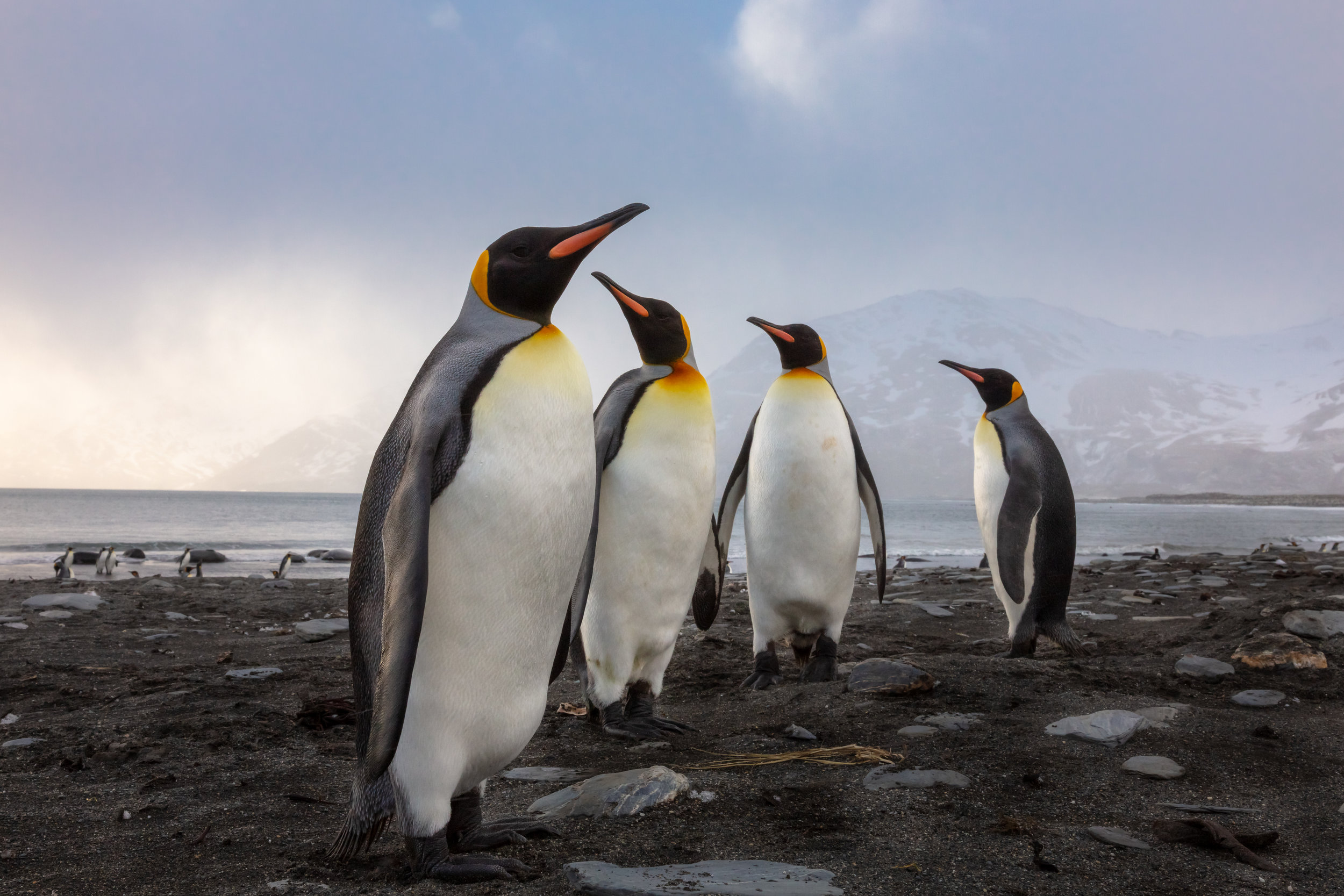 """""""The Contrarian"""" - A quartet of king penguins pause to contemplate which direction to walk as they explore the coastline at sunrise.  Over the past few weeks I was on an expedition for my Stanford Earth project to a place I have dreamed of going since penguins became my favorite animal when I was 3 years old.  I had the incredible privilege to visit the sub-Antarctic isle of South Georgia - home to more than 1,000,000 king penguins - alongside several of my photography idols and mentors. I cannot say thank you enough to Tom Mangelsen, Frans Lanting, Art Wolfe, Justin Black, Sue Cedarholm, Chris Eckstrom, Yuri Choufour, and the expedition team that made this dream a reality.  Keep scrolling for images and stories from the expedition!"""