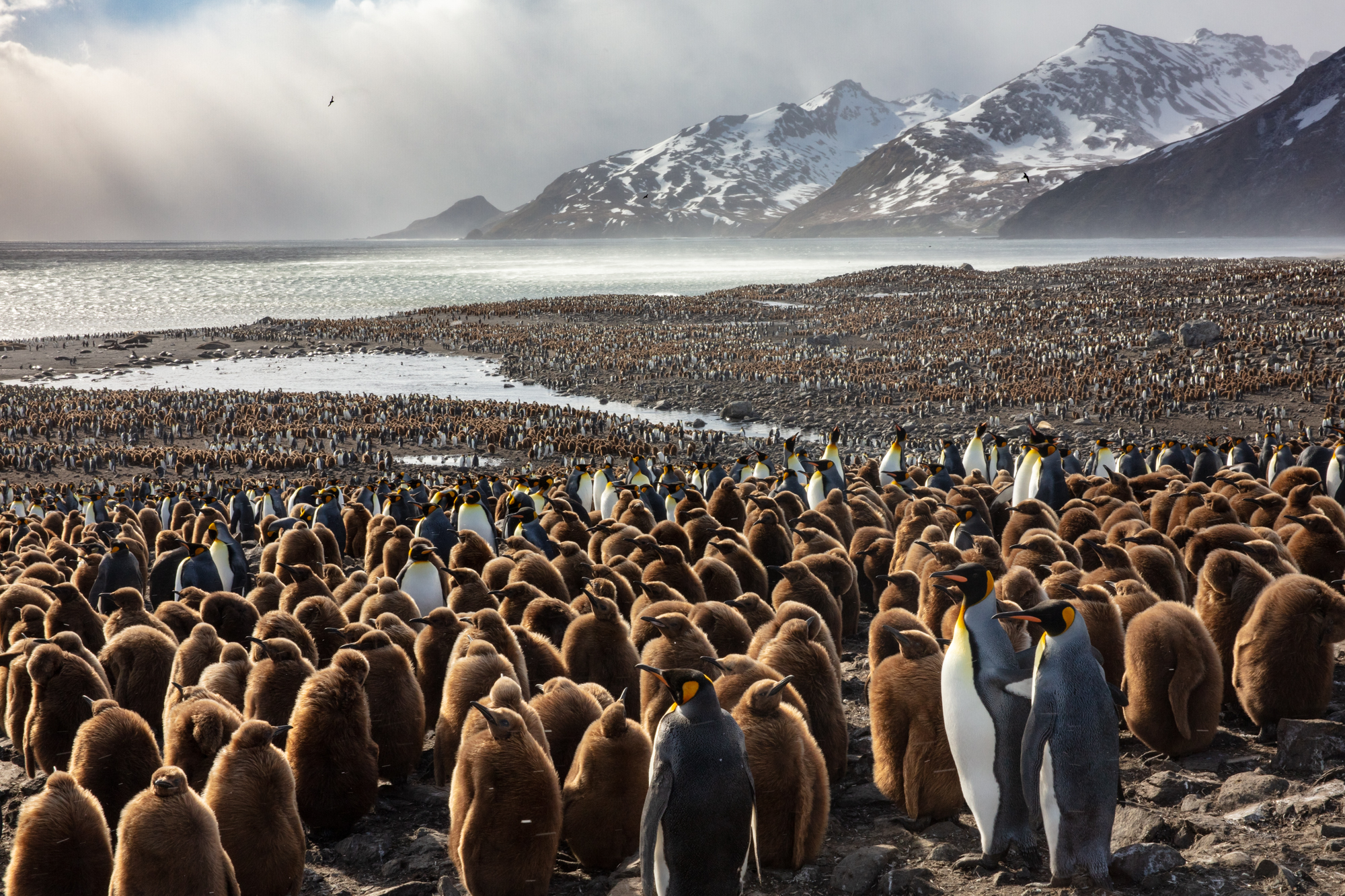 Though the outward appearance of South Georgia gives an aura of rugged inhospitality, few places on earth harbor the scale of life that congregates on the beaches of the remote island in the Southern Ocean. King penguins, which are among the island's most visible residents, gather in numbers that seem to defy reality.  When we approached the coast of South Georgia, before I set eyes on the colony, I could hear the deafening roar of penguins calling to one another in the distance; more than 500,000 voices echoing across the bay.  When the sun rose and the island's largest colony came into full view, nothing could have prepared me for the spectacle of nature covering the landscape as far as the eye could see.  It is in this place, under the shadow of wind blasted mountains and glaciers that King penguins have found an unlikely home. South Georgia is as rugged as a place can come, but nature on such scales does not happen by accident.