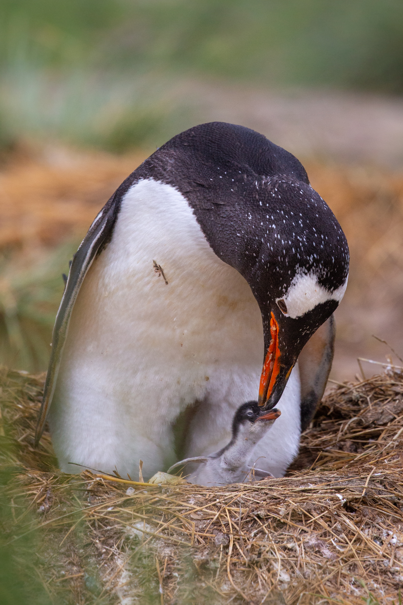 A mother Gentoo penguin shares an affectionate moment with her newly hatched chick, keeping it close by and out of the dangers of the wild world beyond.  When people came to exploit the seals and whales of South Georgia, they left behind a hidden killer - rats that hitched a ride onboard the ships. On an island primarily inhabited by birds with no mammalian predators and no evolved defense, the introduction of egg and chick hungry rats proved devastating to countless species. Pipits and pintail ducks where the hardest hit species and rats also went after young penguins and penguin eggs, leaving many bird populations on the brink of extinction. Without human intervention, South Georgia's abundance of life may have easily disappeared.  The miraculous and hopeful conservation success story of how South Georgia was saved from this infestation will be continued in the next post! Keep posted for the image tomorrow.