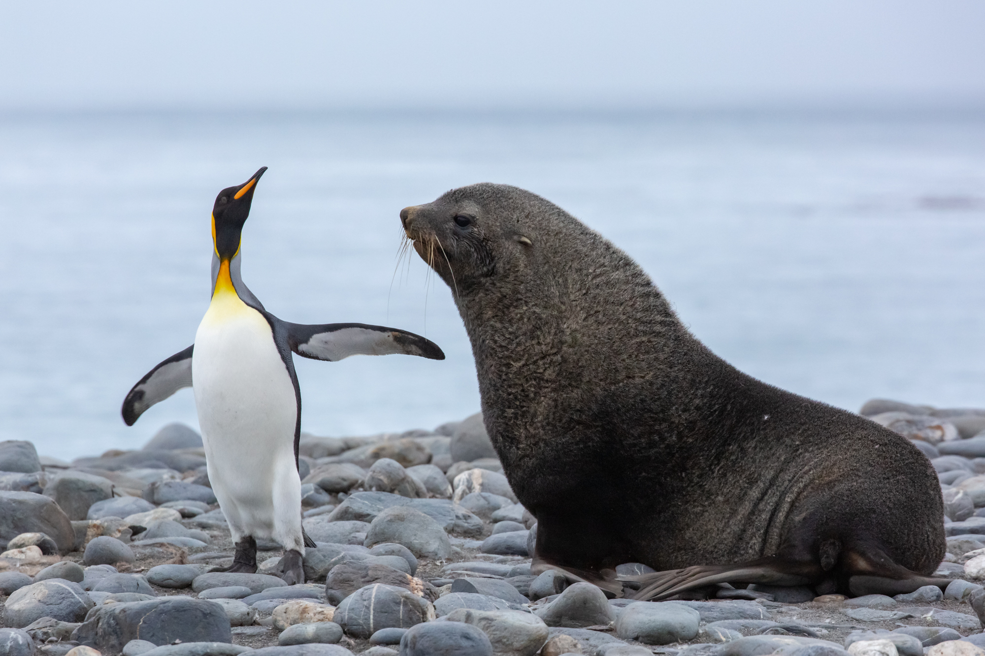 """""""May I have this dance?"""" - A brave King penguin playfully teases an Antarctic fur seal who was slightly less amused by the shocking turn of events that interrupted his afternoon nap... The goofy penguin danced and ran around the fur seal, facing his fears to play with one of the most dangerous animals on the island. Though the seal was reticent and confused at first, he eventually gave in and joined-in on the penguin's game.  Penguins and fur seals are very different species to say the least, but they have grown tolerant of one another as they both rely on South Georgia's beaches as their home - though they occasionally like to mess with one another..."""
