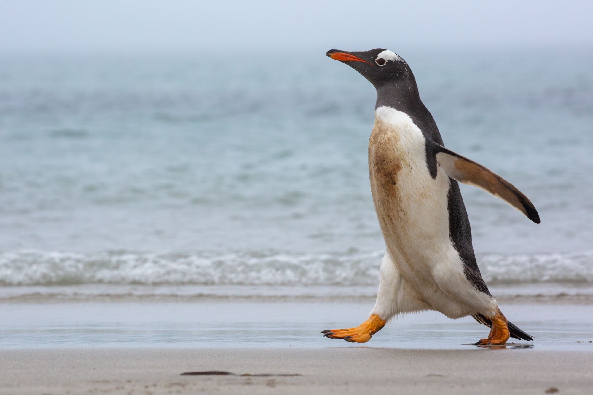 """""""Put your best foot forward"""" - A Gentoo penguin sprints along the shores of the Falkland Islands heading towards a nearby colony. With so much personality and character, I could never get tired of watching penguins. I would often take moments just to sit, watch, and chuckle as they went about their daily lives around me. As my first quarter returning to Stanford begins, I couldn't think of a more fitting image to display the feeling of being back and """"stepping forward"""" into the school year ahead.  The Falklands, which are the nearest developed islands to South Georgia, display a sharp contrast to one another. Rather than a land that is at least symbolically owned by nature itself, many of the natural areas of the Falklands are privately owned by British families that have lived and worked there for generations. With little opportunity for traditional work in the remote section of the southern ocean, the people vitally depend on nature-loving visitors. As a result, landowners have the incentive to ensure the protection of their owned slice of nature. The ecosystem along with the people of the Falklands mutually benefit from a protected natural ecosystem. It is a harmony between man and nature like none other on earth."""