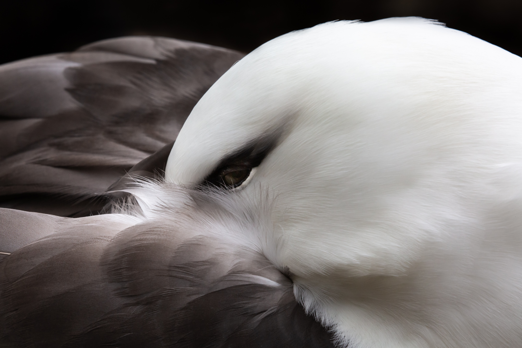 A nesting black-browed albatross tucks its head into its artfully elegant feathers while resting at a colony in the Falkland Islands.  These beautiful birds are struggling to stay afloat in battle against the long-line fishing industry which threatens to needlessly sink albatross populations into oblivion. With certain fishing practices, albatross species are attracted to fish bait and get caught in fish nets. By some estimates 100,000 albatross lose their lives to long-line fishing each year, making albatross the most threatened bird family in the world.  Albatross are long-lived/slow-maturing birds that pair with a single mate for life. As a result, the death of one or both birds in a pair has a lop-sided impact on future generations.  In the South Georgia Maritime Zone, fishing vessels are now regulated by a set of rules that make it possible for coexistence with little to no cost to fisheries. Though South Georgia's regulations have been successful at keeping the birds safe, albatross are incredibly mobile birds that travel thousands of miles across the ocean. Ensuring a future of these spectacular birds means shifting the international industry towards a new mindset of conservation and stewardship.