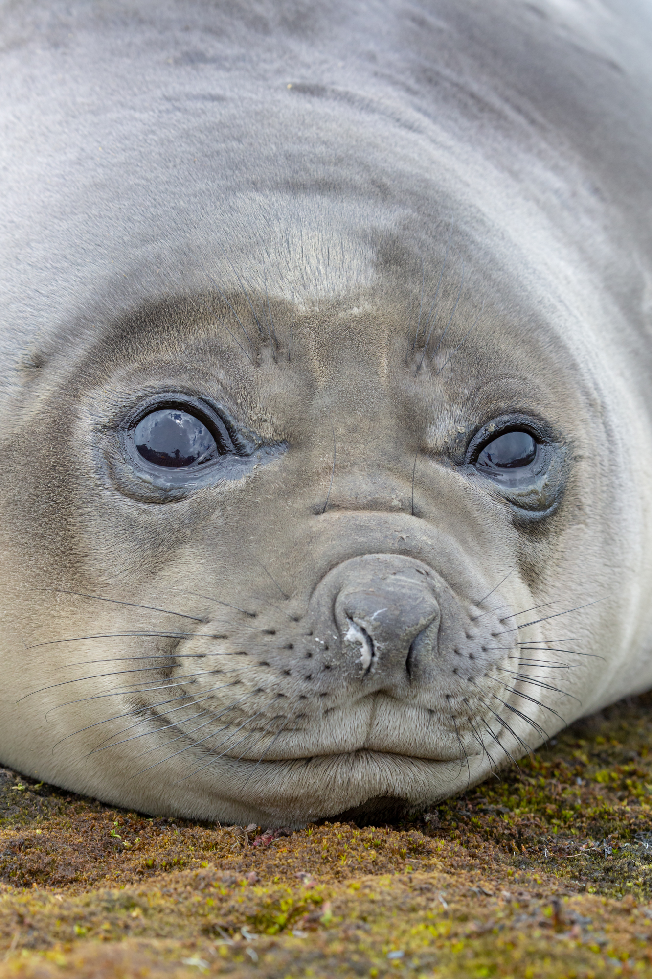 "A notoriously blubbery southern elephant seal ""weaner"" rests on the shores of South Georgia island, looking out towards the vast Southern Ocean. Despite South Georgia's remote and rugged geography, as much as 54% of the world population of southern elephant seals are born on its shores.  Come November, the beaches are filled with hundreds of ""weaners"" who get their nickname from the fact that they have just been weaned from their mothers' milk. Though penguins take the top spot for the silliest creatures in South Georgia, the ""weaners"" with their clogged noses, rude sound effects, and helplessly fat bodies take a close second. Having just been left by their mothers, it is not uncommon to find yourself surrounded by ""weaners"" looking hopefully up at you hoping that maybe you too can offer them some milk.  With faces like these, it is difficult to imagine that the species was almost hunted to extinction for the oil in their blubber following Captain Cook's account of the island in the 1700s. It was not until 1964 that people enacted a ban on the hunt, allowing elephant seals to slowly recover on the beaches of the Southern isle. Seeing beaches full of healthy elephant seal ""weaners"" is a hopeful sight that cannot be taken for granted.  The many success stories of conservation in South Georgia and the Falklands are diamonds in the rough of today's planet in peril. These stores give a glimpse into a wild world that once was, but also a world that can be resurrected from the ashes of our human-impacts. For many species and ecosystems all across the globe, no matter how daunting the task may seem, there is always hope for conservation. With a little nudge from people, nature has the power to bounce back in ways that we cannot even imagine."