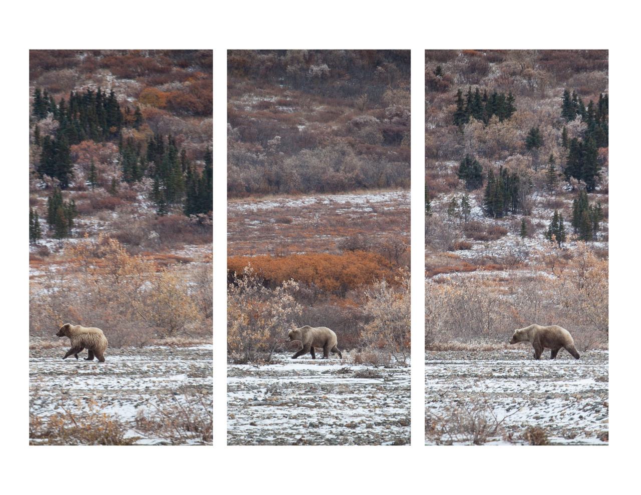 Mother and two grizzly cubs frolicking along the Teklanika River.