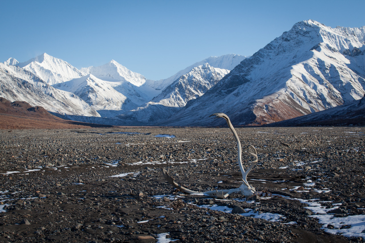 A discarded rack of antlers along the Teklanika River in Denali National Park.