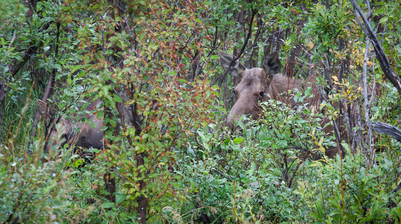 Mother moose and her calf on the side of the road nearing Anchorage