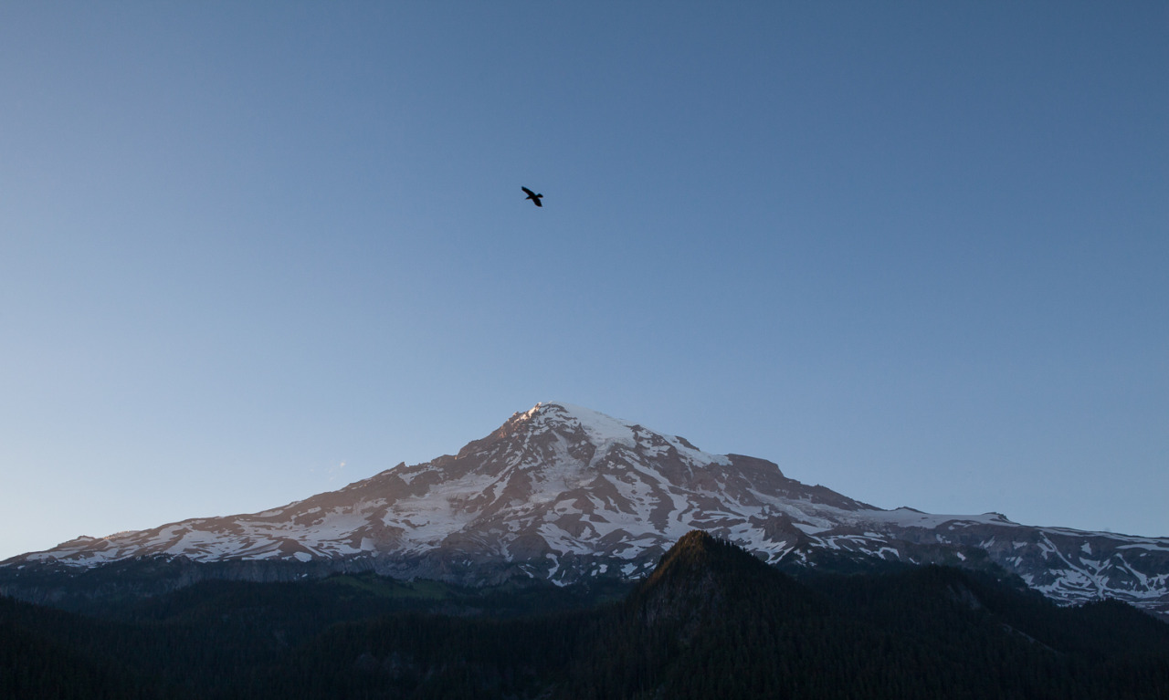 A single raven flies in the open space between Mt Rainier.