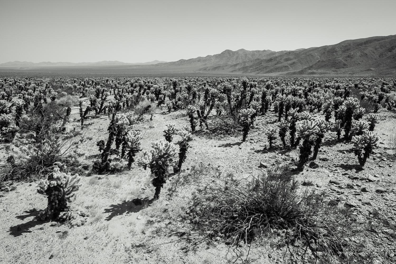 Ocotillo cactus landscape seen in Joshua Tree National Park, California