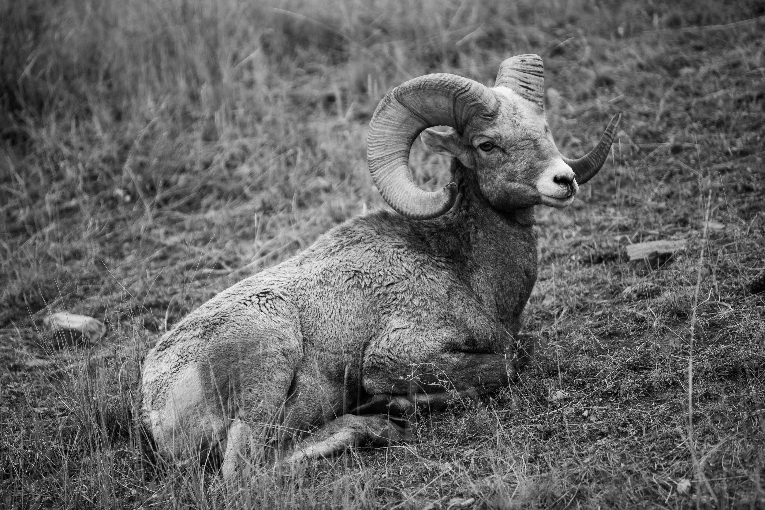 Bighorn Sheep, National Bison Range