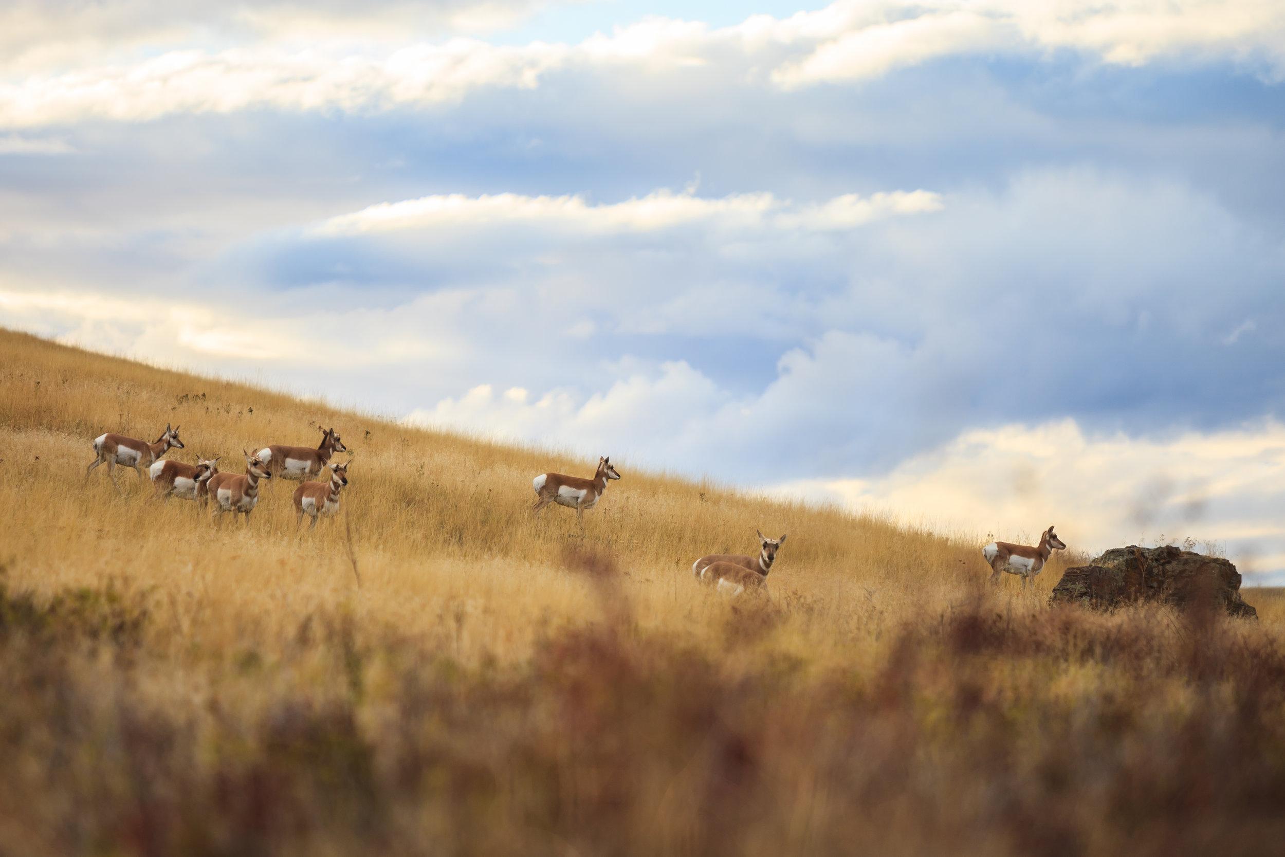 Pronghorn Herd, National Bison Refuge