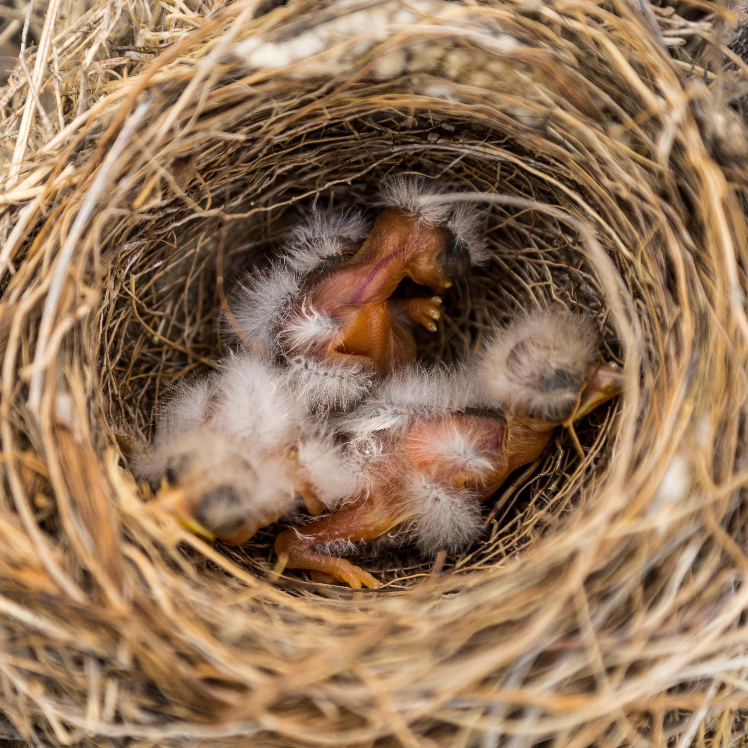 Hatchlings, Upper Missouri River Breaks, MT
