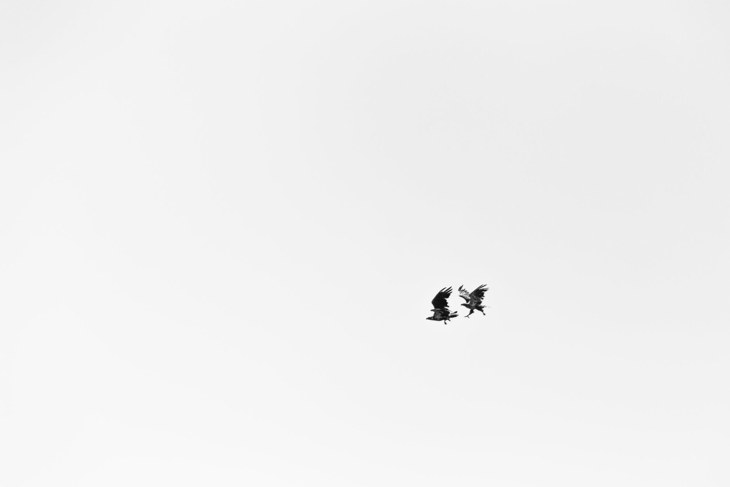 Raptors in Flight, Montana