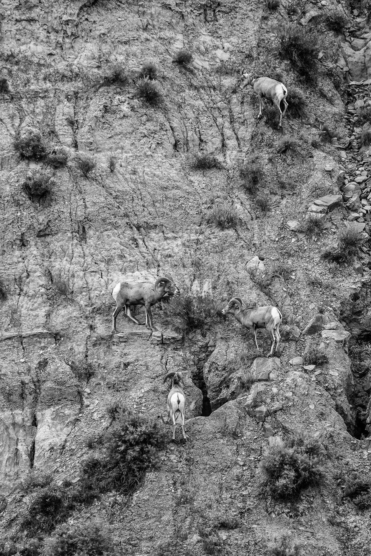 Bighorn Sheep, Upper Missouri River Breaks, MT