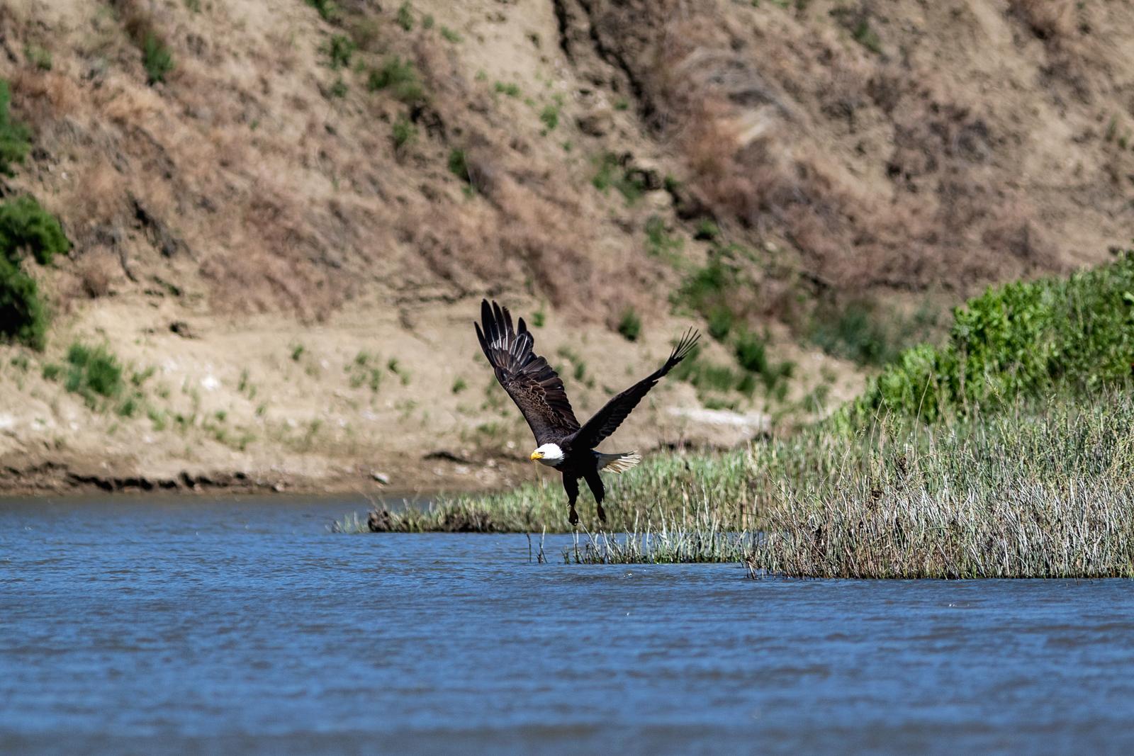Bald Eagle Takeoff, Upper Missouri River Breaks, MT