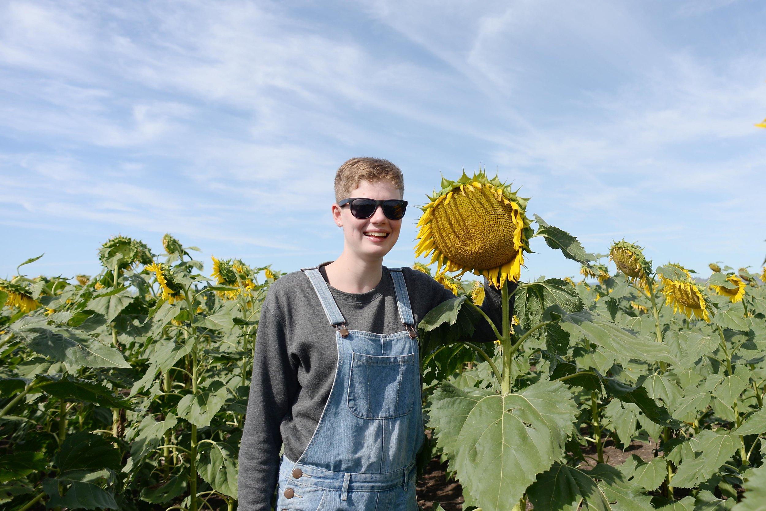 sunflowers nsw