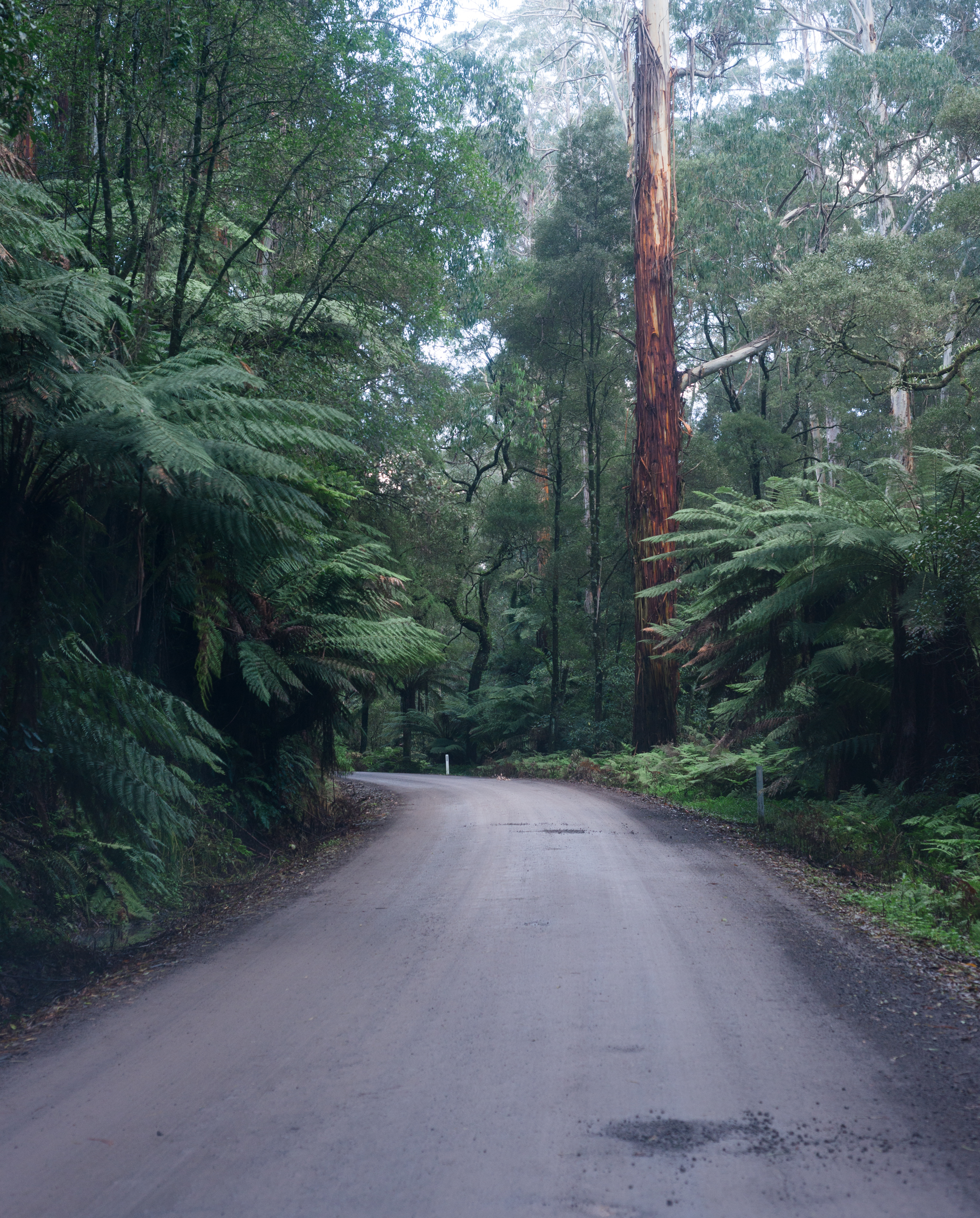 beech forest vic
