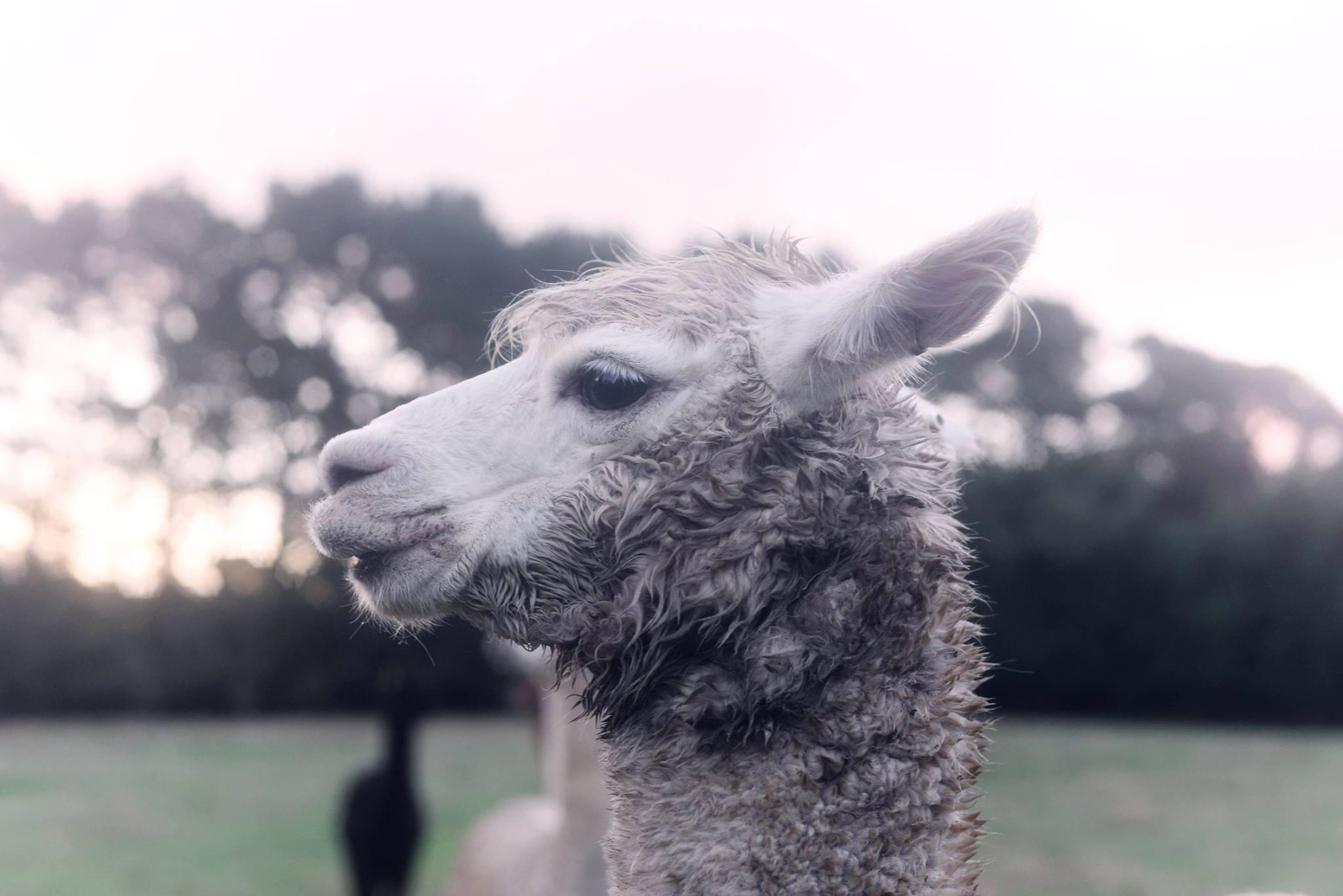 robertson nsw alpaca