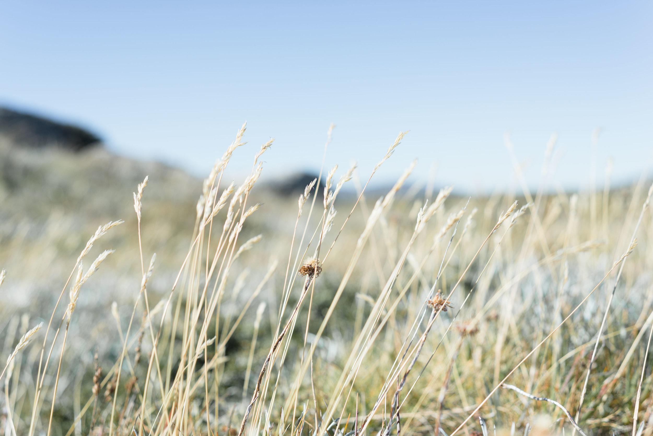 alpine grass nsw kosciuszko