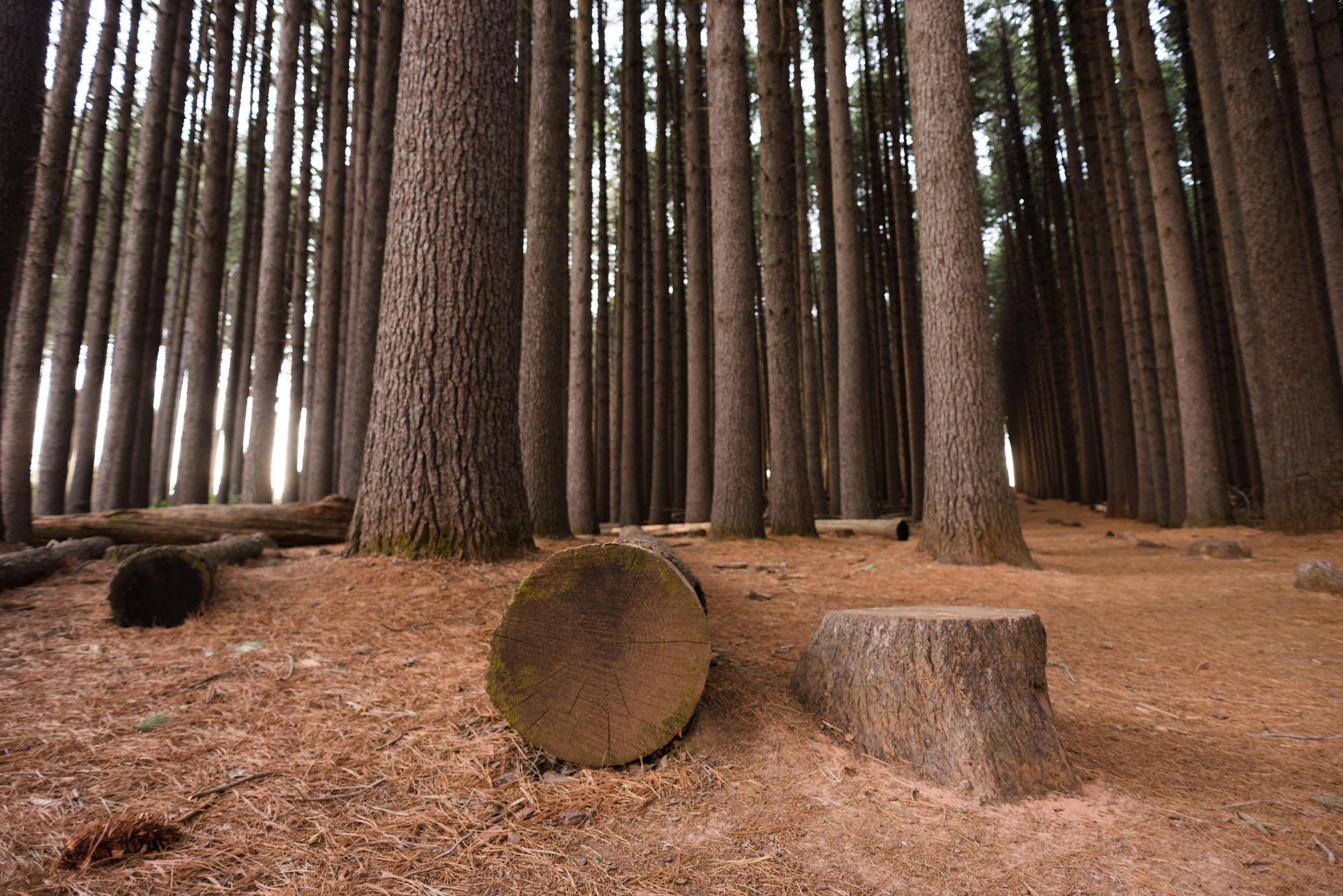 sugar pine walk bago state forest nsw