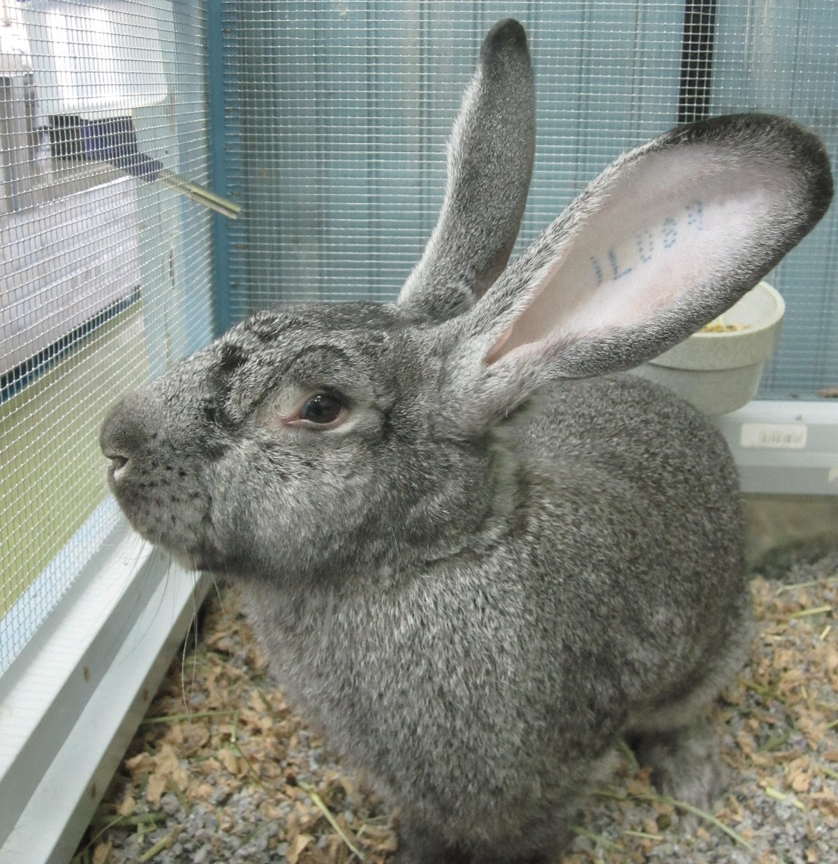 See Stan the Man our in house Flemmish Giant Rabbit. He runs the store.