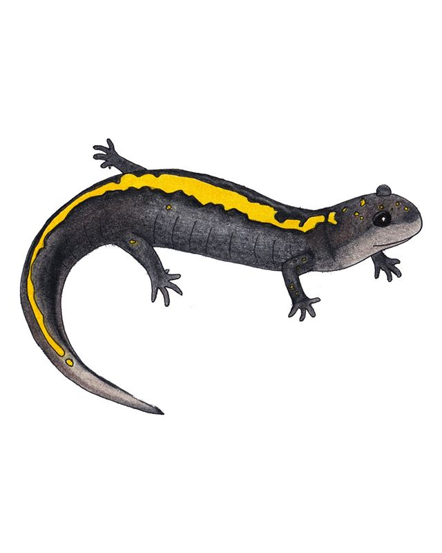Happy Monday!  I'm back today with an old drawing of the Eastern Long-toed Salamander!  This is one of the five sub-species of Long-toed Salamanders, and is found in Idaho, Montana, and north into Canada.  They are usually found sheltering under rocks or woody debris, and can be found in shallow ponds and streams in early spring during breeding season.  I'll be posting more of my new herptile paintings very soon!  I'm currently working on Anole species, and I can't wait to share them!