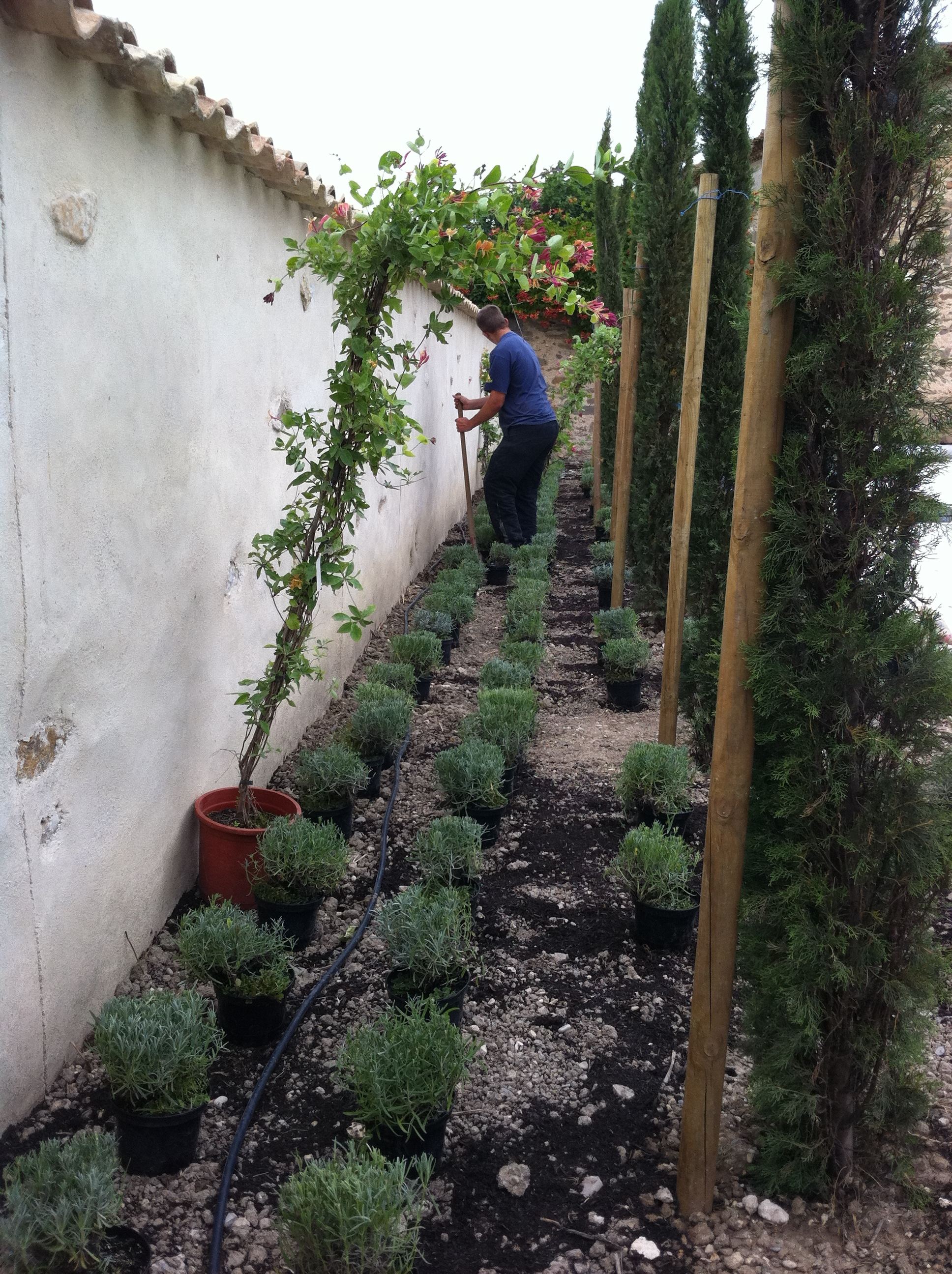 placing and planting italian cypress 'stricta'