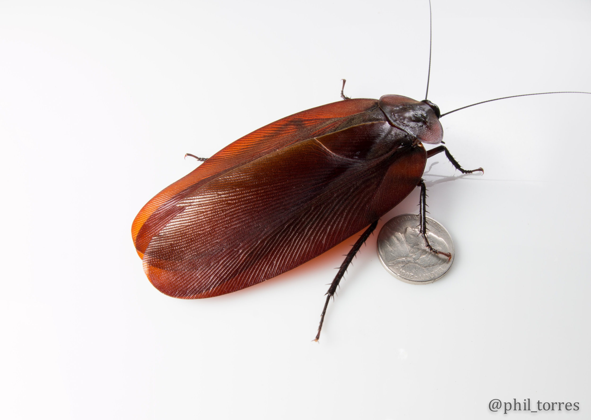 The largest winged cockroach in the world-  Megaloblatta   longipennis  in Sumaco Volcano, Ecuador.